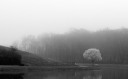 Laurel Trees in Fog BW